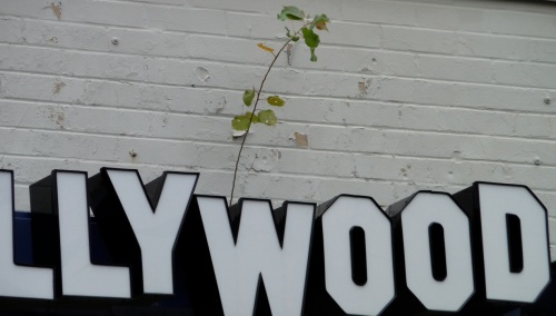 Everybody wants to be a star...This little poplar started up in a Needham Hollywood Video Store sign, about ten feet off the ground.  Either the sign will give one of these days, or the tree will.