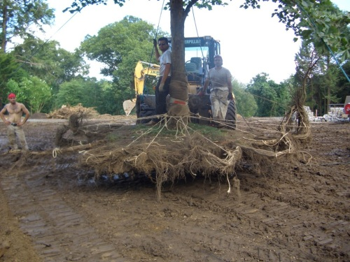 Here is what a well-tied tree looks like in transit.  Note how the roots have been carefully pigtailed, and tiebacks to the tree's trunk are done neatly and professionally, to preserve the roots during excavation and the move.