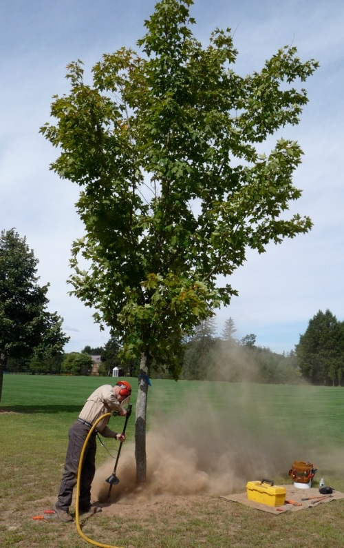 Turf provided the only competition for this tree, but it was showing dieback and early fall color at the MAA workshop.