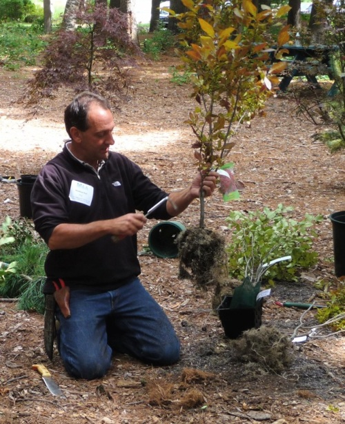 Using a three-pronged fork to untangle the root mass.  For a bigger shrub or small tree, a machete or pitchfork may work well to loosen soil and reorient roots.