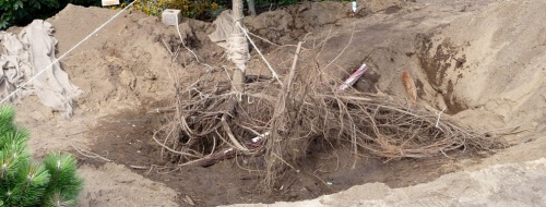 Closeup of the roots.  This root mass measured 14 feet across at its widest.  Roots have been pigtailed -- that is, tied together and lifted to keep them from breaking during the air-tool process and move.