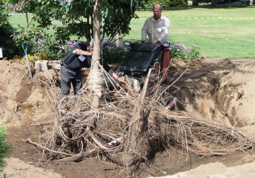 Mike directs the Dingo forks under the root plate while his assistant holds the trunk stable.  Note the heavy burlap padding both on the Dingo and on the tree trunk.