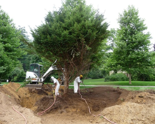 The Bobcat has dug a trench, and the crew is blowing soil into it. Note that the Yew's branches have been tied up to keep them out of the way.