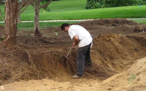 Pigtailing the roots -- tying them in long bundles -- helps keep them protected and out of the way.