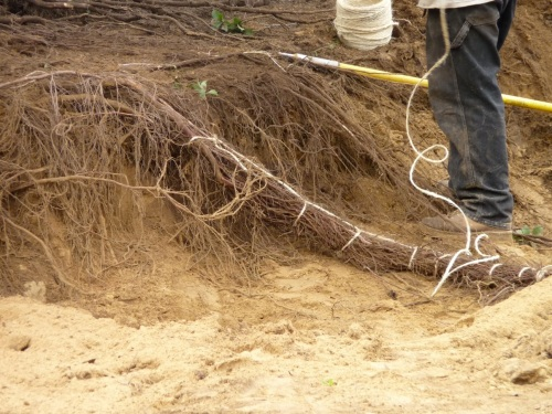 Twine holds the pigtails together; when the plant is ready to move, twine can also be used to tie the pigtails back to the trunk, to keep them from dragging during transport.