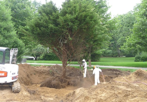 Progress shot. Look at how deep the trench is. The Taxus is nearly ready, and shortly the crew will move on to the Cornus kousa; when both trees have been blown out, they will be separated and moved to new locations.