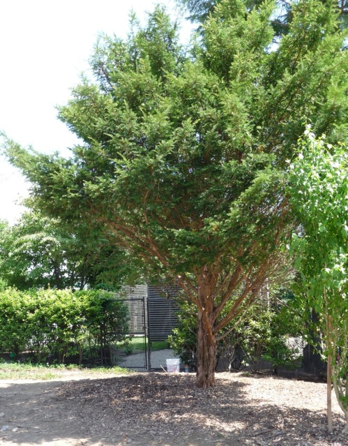 Final shot. Asymmetry in the Taxus crown reflects its previous location in a larger planting.