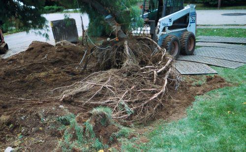 veron white pine digging 2