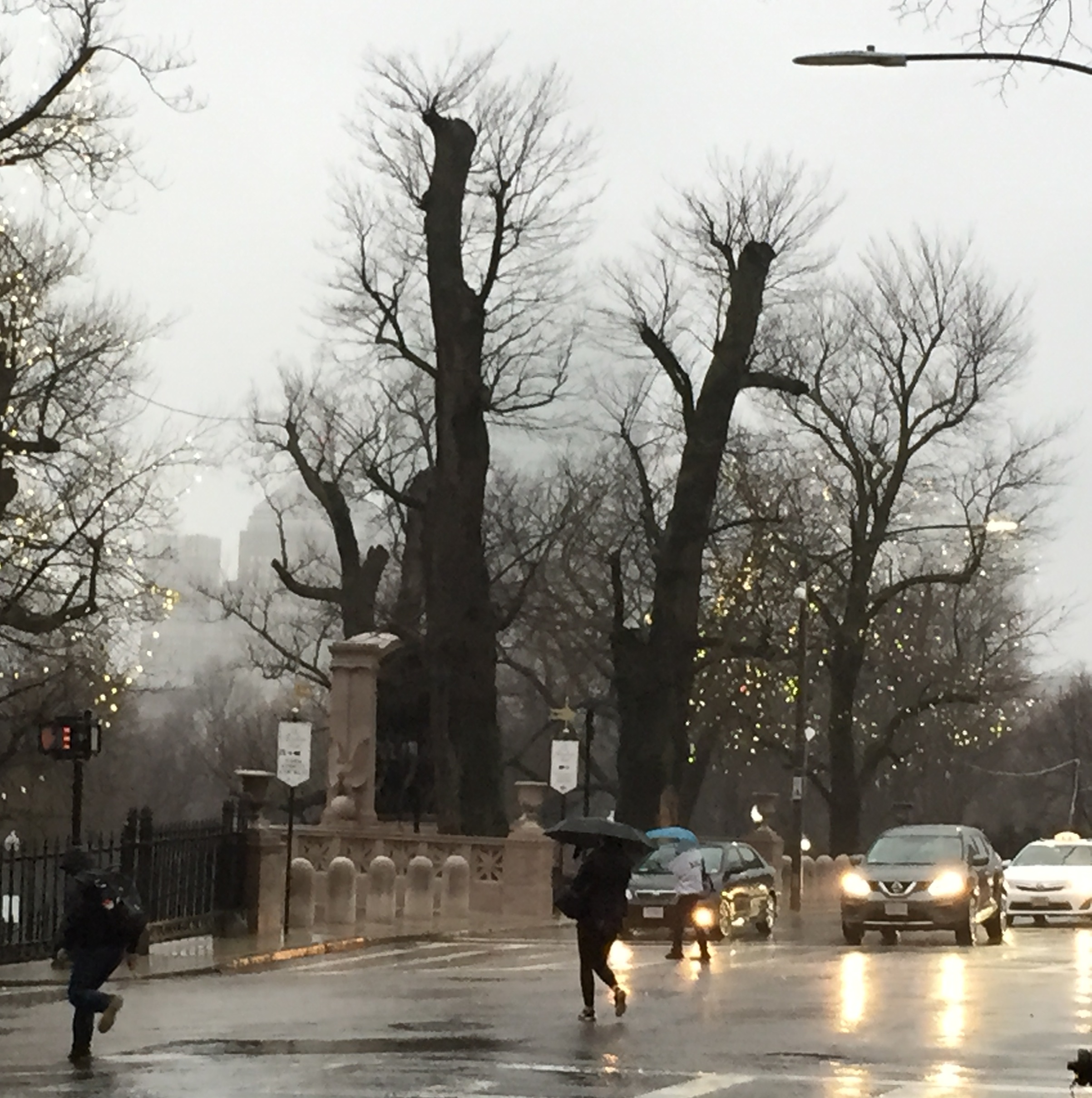 oldest trees on boston common taking place in the trees